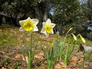 Daffodils...too sunny
