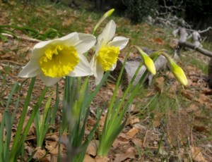 Softer light on daffodils