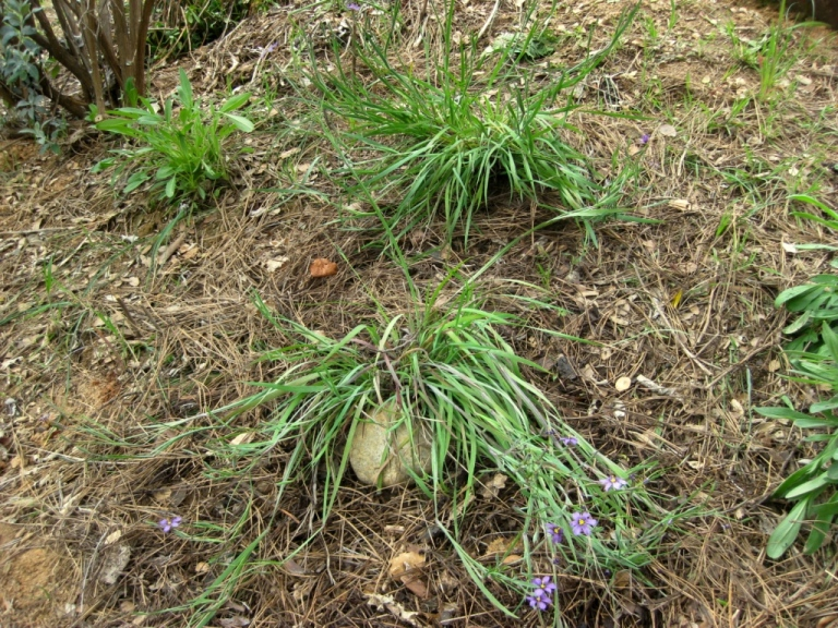 The two clumps on a south facing slope will spread by self seeding