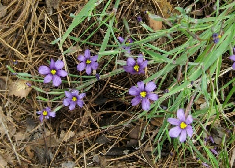 Blue Eyed Grass, Sisyrinchium bellum