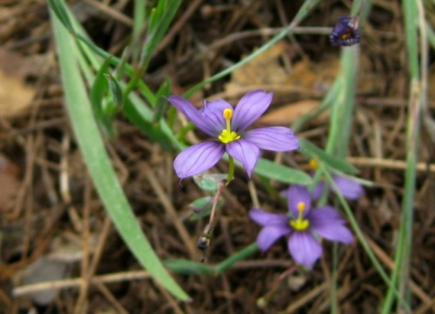 Blue-eyed grass, Sisyrinchium bellum