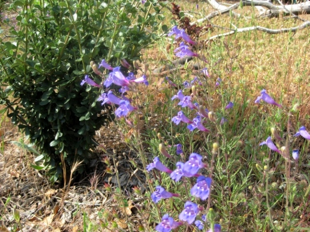 Foothill penstemon ..a little blurry
