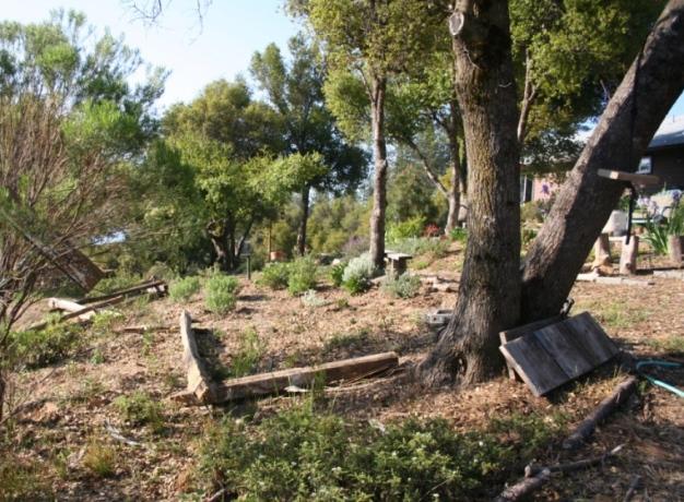 2008-Planting under oaks3