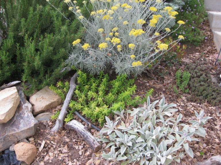 Planting under oaks6