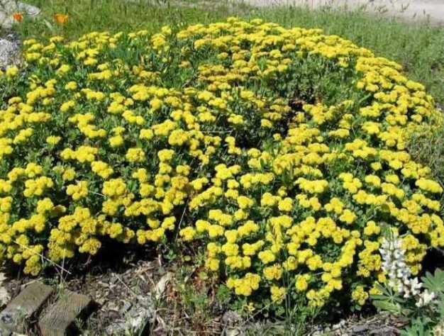 Spreading Eriogonum umbellatum 'Shasta Daisy'