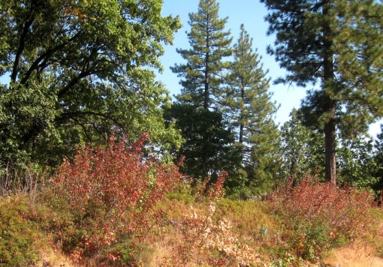 Planting Under Oak Trees : What to plant under oaks and pines in the garden sierra