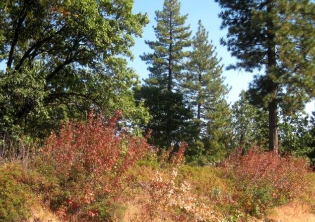 Toxicodendron diversilobum Poison Oak