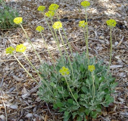 Young Eriogonum umbellatum 'Shasta'