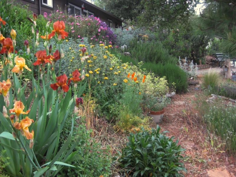 Exceptionnel Tried And True Deer Resistant Plants For The Sierra Foothills | Sierra  Foothill Garden