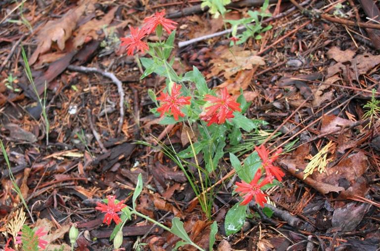 California Indian Pink, Silene californica