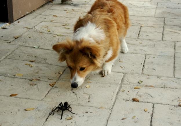 California Tarantula Aphonopelma sp & Maggie