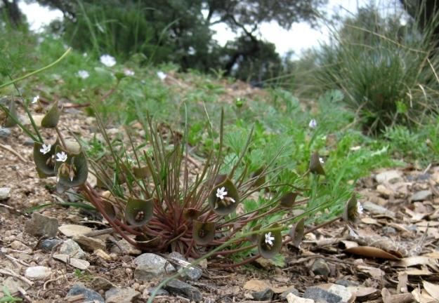 Miner's Lettuce, Claytonia perfoliata