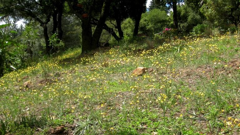 Field of Pretty face, Triteleia ixioides ssp. scabra