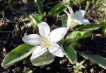 California Hesperochiron, Hesperochiron californicus, an alpine
