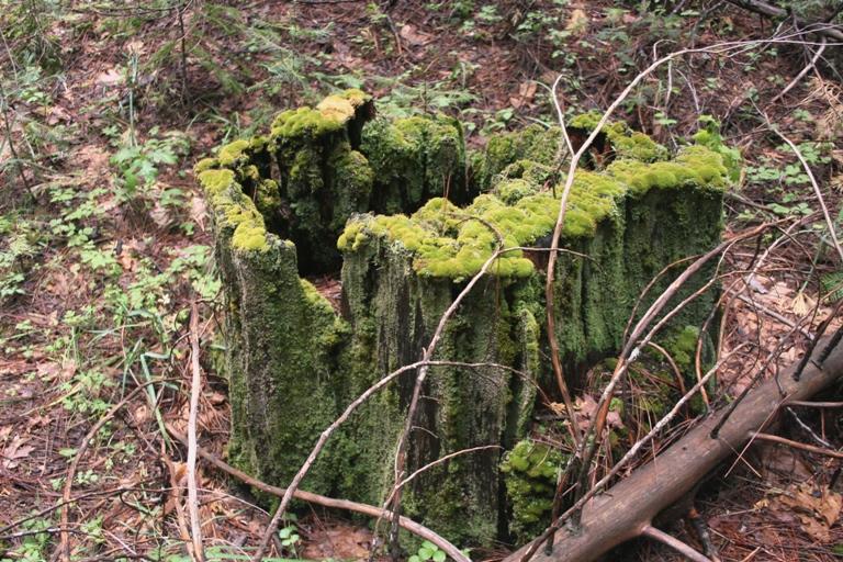 Lewis Creek mossy stump