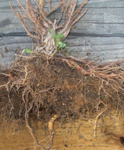 Mexican Primrose coming through root ball of killed plant. Yellowish fleshy root shows at the bottom.