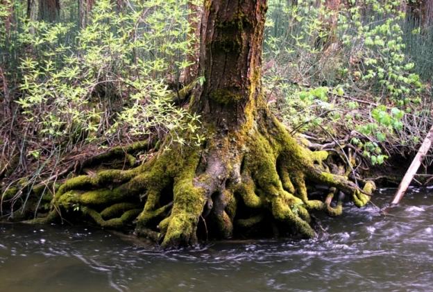 Mossy pine and Pacific dogwood, Cornus nuttallii