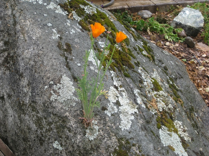 This poppy is making itself at home on the rock, as are a variety of lichens, mosses and fungi.