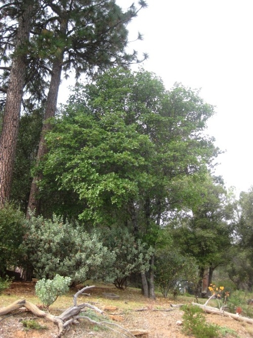 Quercus morehus, Oracle Oak, is common here, but the most rare of oaks in California