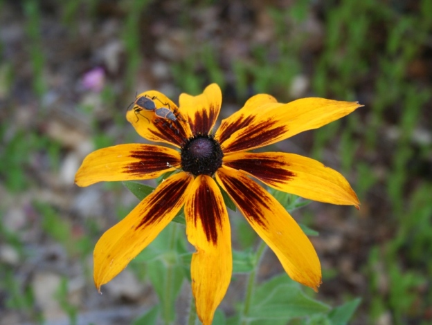 Glorious Blacked-eyed Susan