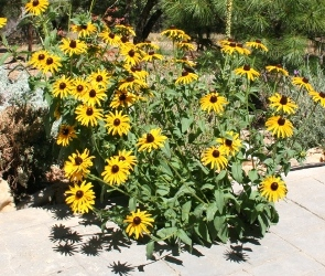 All that was left of non native wildflower mix from 2006 were the CA native Rudbeckia hirta