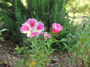 Clarkia amoena Farewell to spring