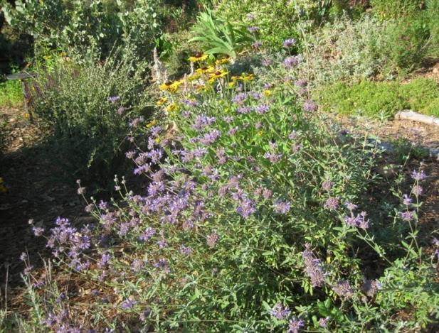 Cleveland sage 'Aromas' and Rudbeckia hirta