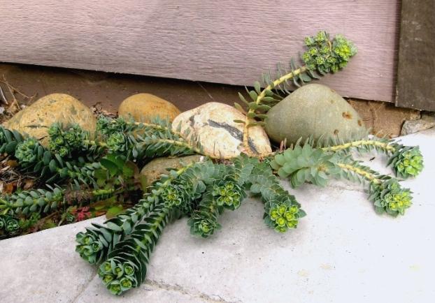 Donkey tail spurge, Euphorbia myrsinites
