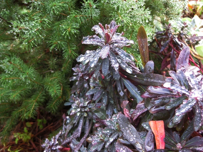 Euphorbia amygdaloides 'Purpurea' doesn't mind the cold