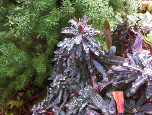Euphorbia amygdaloides 'Purpurea' doesn't mind the cold