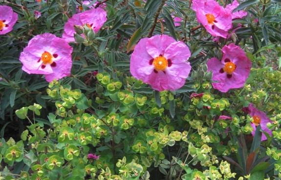 Euphorbia dulcis 'Chameleon'  with Rockrose