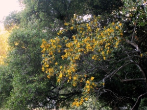 Flannel bush, Fremontodendron californicum