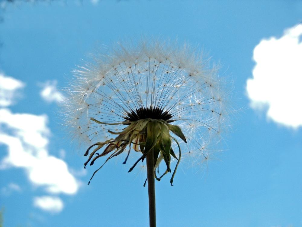 Grand Dandelion seed head