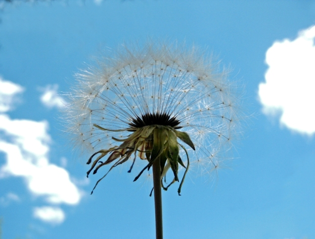 Grand Dandelion seed head