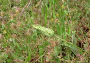Grand Mountain Dandelion has a very long bud