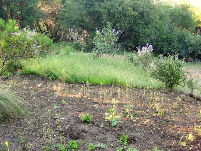 Halfway weeded. The thick weeds are the Bedstraw