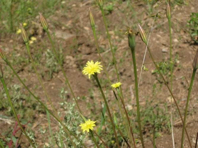 Lindley's Silverpuffs, flowers