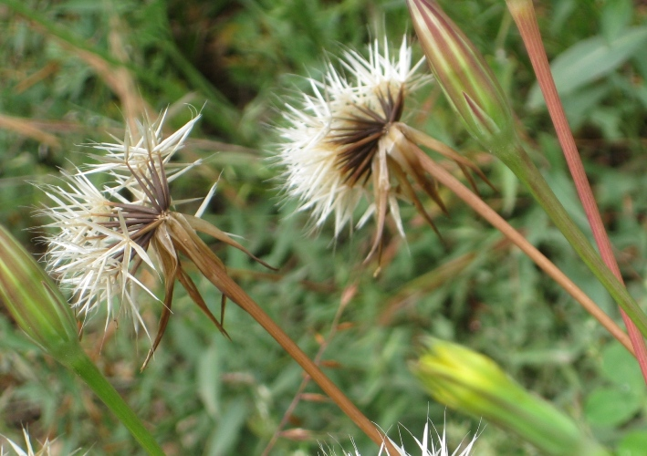 Lindley's Silverpuffs seed heads