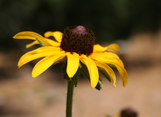 Rudbeckia, Black-Eyed Susan, a California native