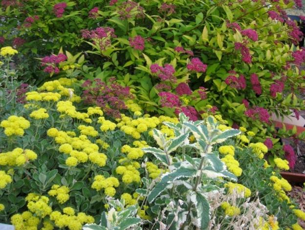 Sulfer Flower buckwheat, Eriogonum umbellatum