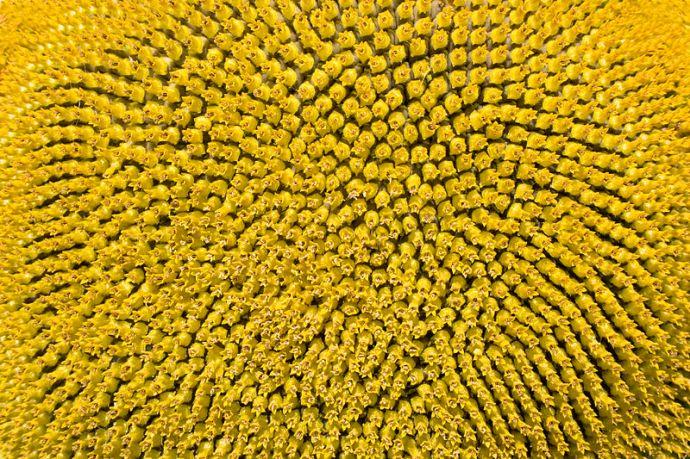 Sunflower pattern showing spirals