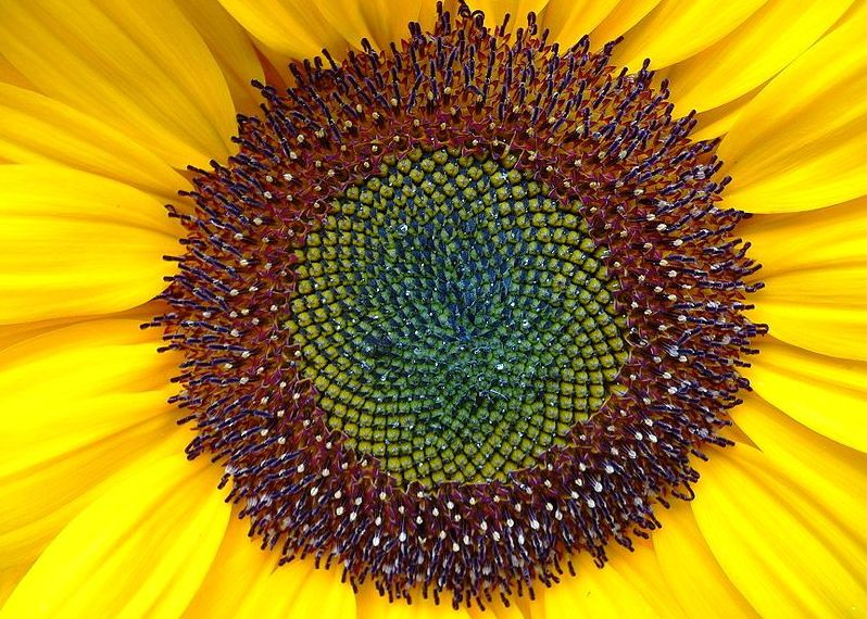 Sunflower seeds, beautiful patterns, but no time to count them...I'll take your word...