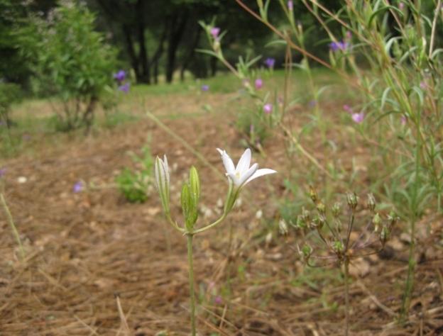 White Elegant brodiaea, a surprise!
