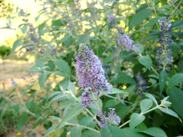 Buddleia flowers in mid July