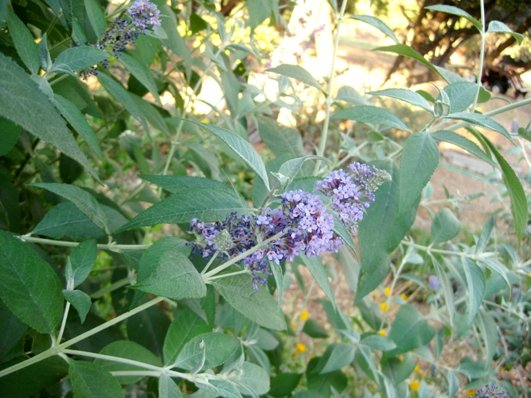 Buddleia foilage is all fresh on trimmed plant