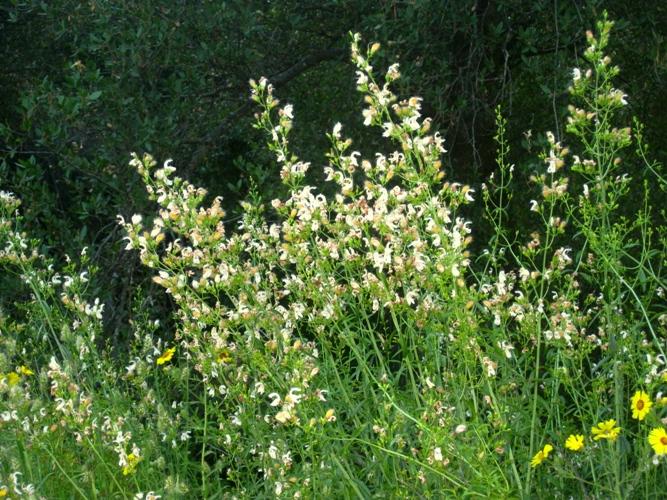 Bush Beardtongue, Keckiella breviflora