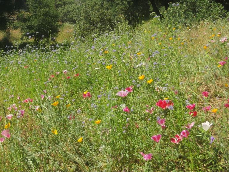 Clarkia, poppies and gilia