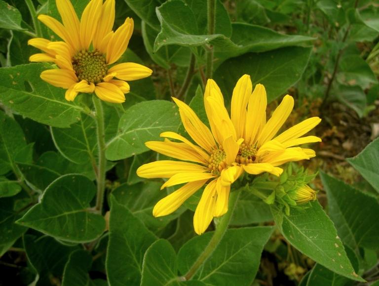 Double Wyethia flower