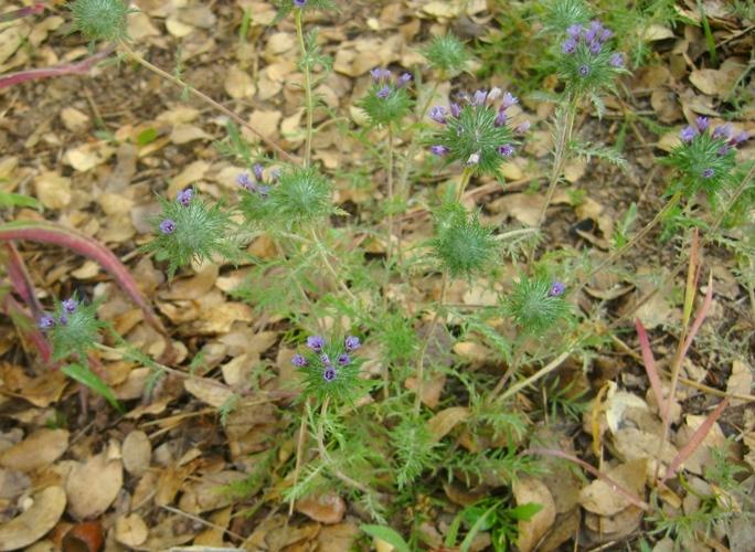 Downy Pincushionplant, Navarretia pubescens bloom