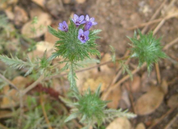 Downy Pincushionplant, Navarretia pubescens flower